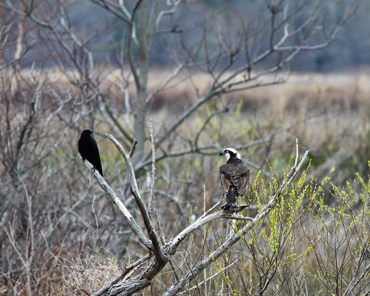 Osprey and Blackbird