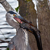 Great Blue Heron in the Florida Everglades, Everglades National park