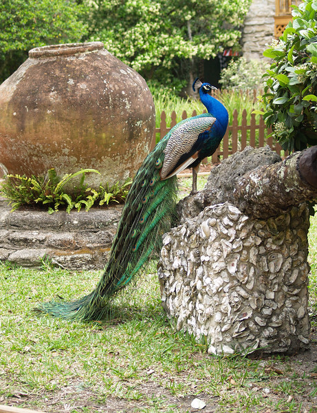 Peacock in St Augustine Florida