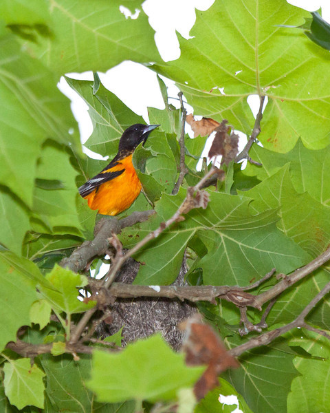 Orchard Oriole and Nest