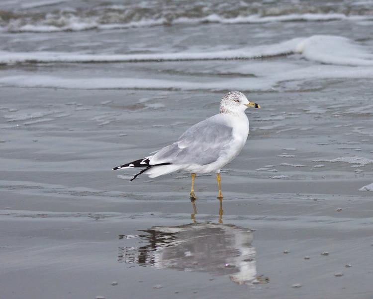 Gull at Hilton Head