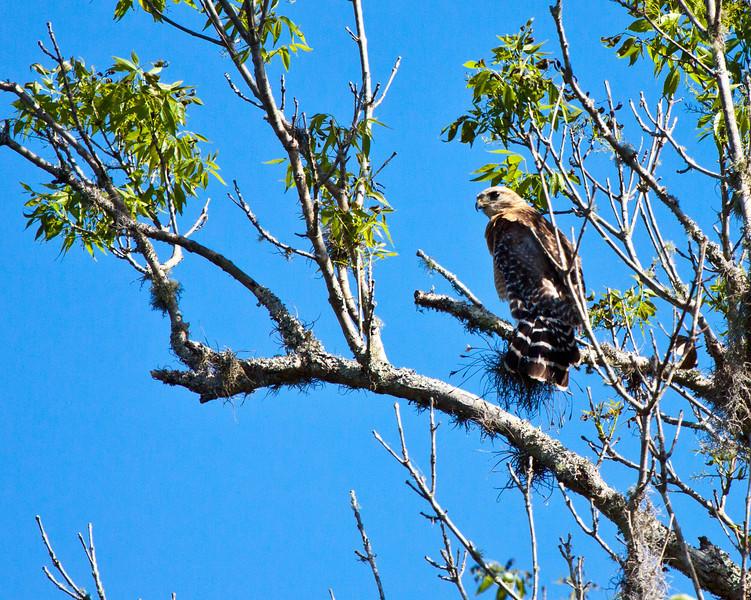 Hawk along Wekiva River, Florida