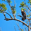 Hawk along Wekiva River, Florida