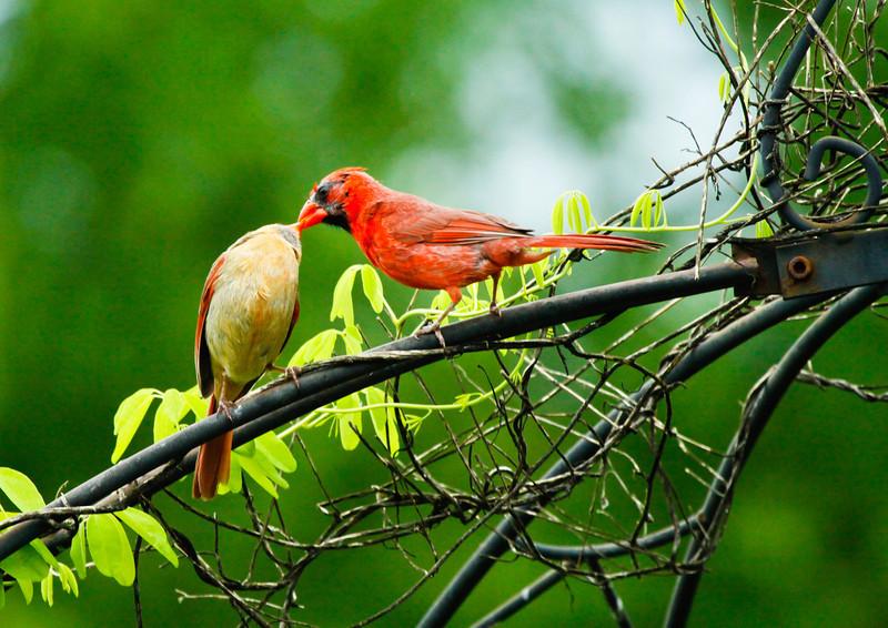 Northern Cardinals kissing