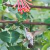Hummingbird1293