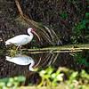 White Ibis, Wekiva River State Park, Florida
