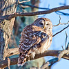 Barred Owl on Skyline Drive