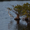Great Blue Heron on Merritt Island Florida