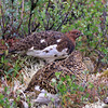 Ptarmigan male, hen and chick in Denali, Alaska