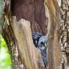 Barred owl, Juveniles on Skyline Drive, Virginia