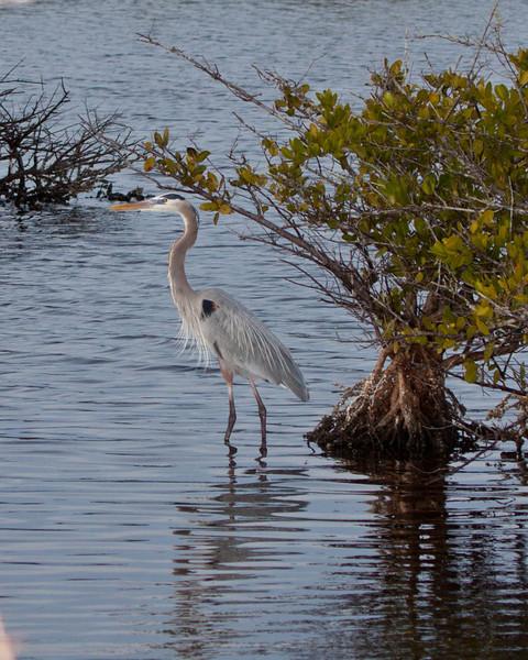Great Blue Heron on Merritt Island Florida
