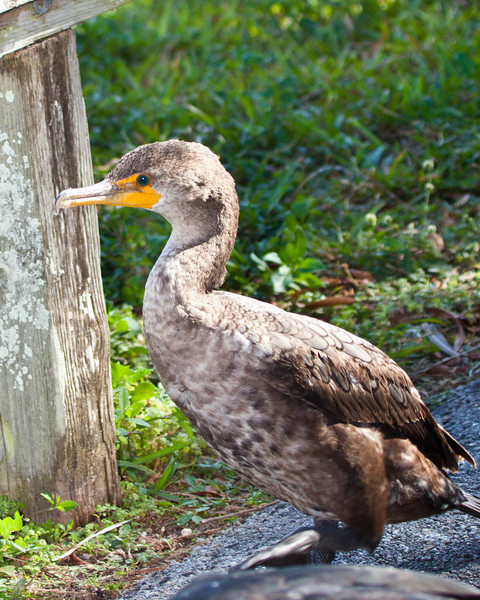 Double Crested Cormorant Juvenile  in Everglades National park