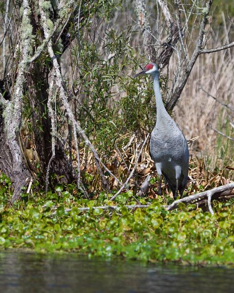Sandhill Crane, Wekiva River, Florida