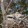 Anhinga chicks
