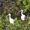 White Ibis in the Everglades of Floriday