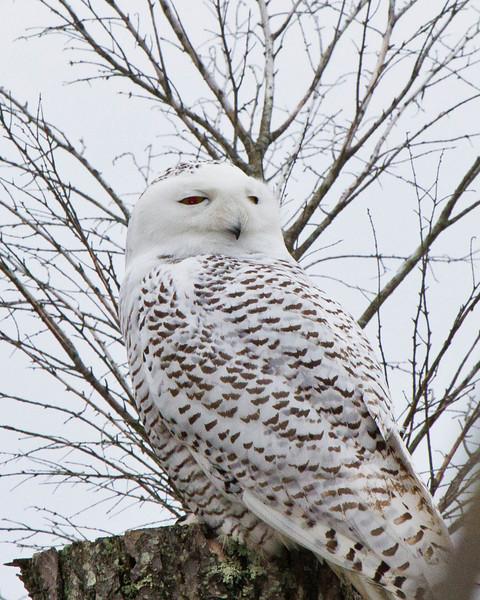 Snowy Owl in Virginia