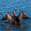 Double Crested Cormorant in Everglades National park