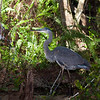 Great Blue Heron in the Florida Everglades