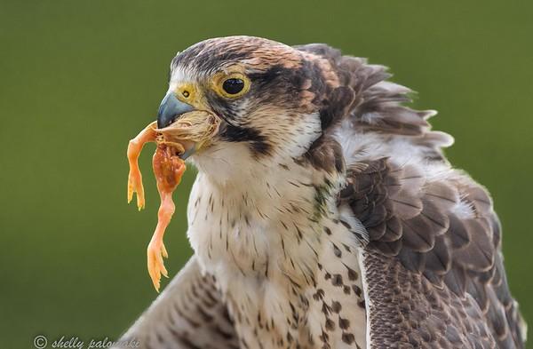 Birds of prey Awendaw demo