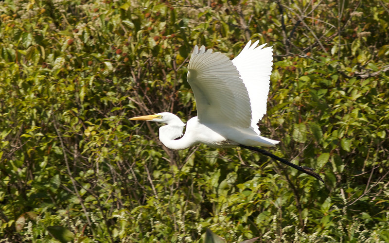 Great Egret, Concord River
