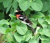 Red-breasted Grosbeak (m) in Katsura tree