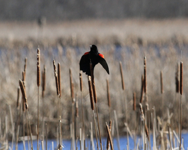 Red wing blackbird, Great Meadows NWR (1)