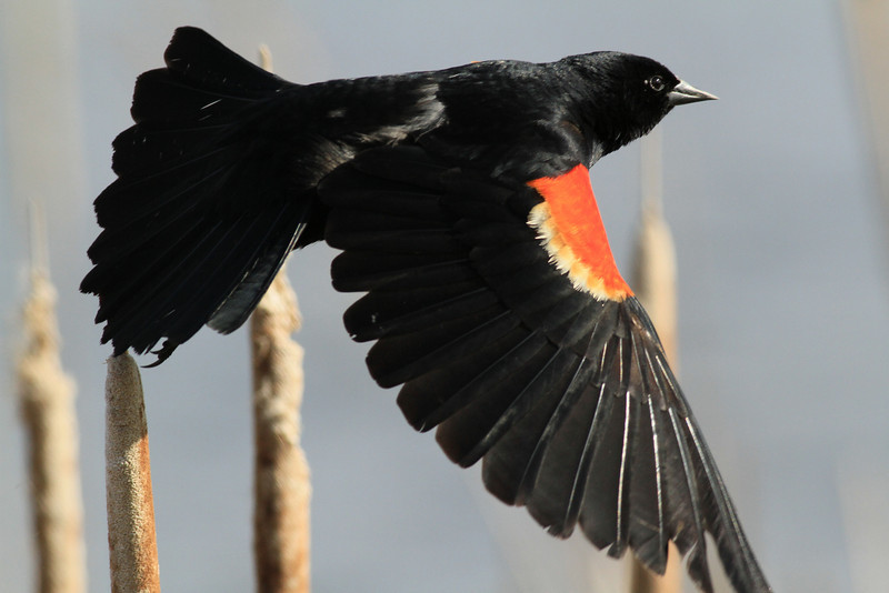 Red Winged Blackbird on wing