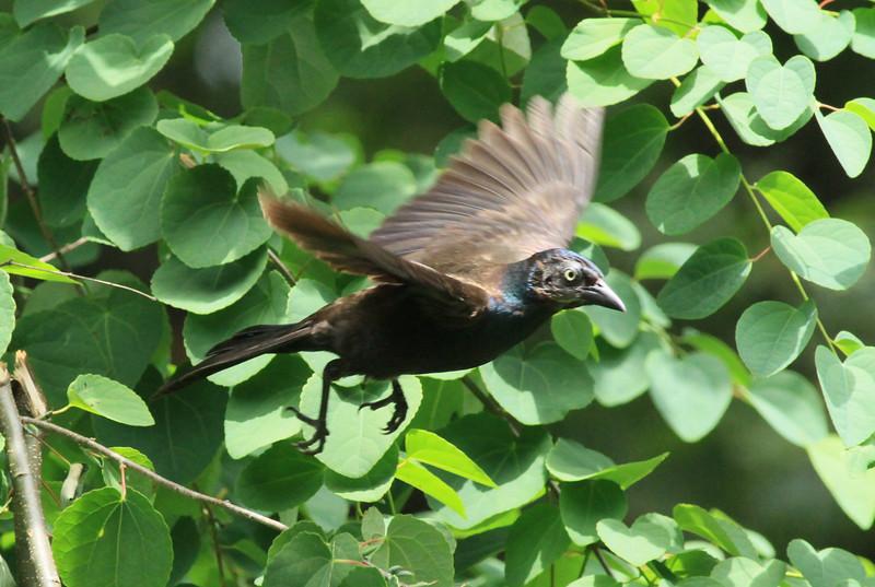 Common Grackle in flight