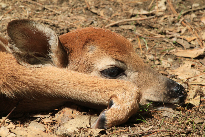Fawn knew to lie down if felt threatened