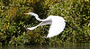 Great Egret, Concord River