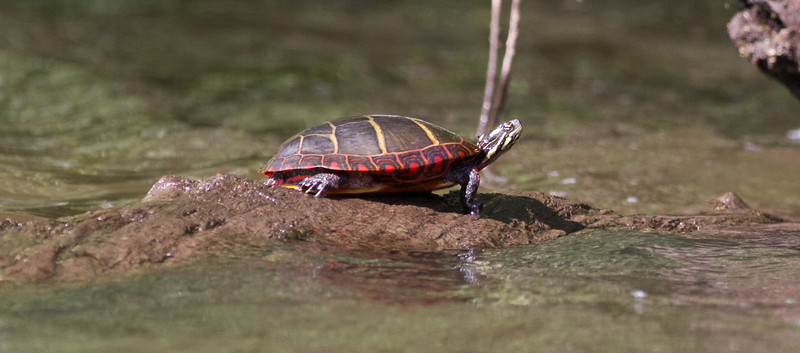 Painted Turtle, Concord River