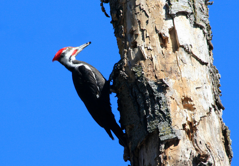 Pileated Woodpecker, White Pond Concord (Ann photo)