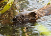 Muskrat on Beaver Brook