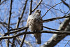 Young hawk at White Pond, Concord MA (2)