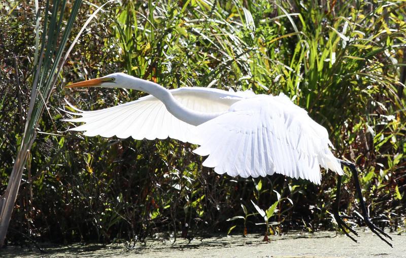 Great Egret, Beaver Brook