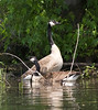 Pair Canada Geese