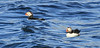 Puffins in sea near Eastern Egg Rock, ME