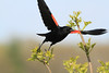 Red Winged Blackbird on wing (1)