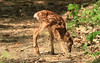 Lost fawn appeared on trail behind house