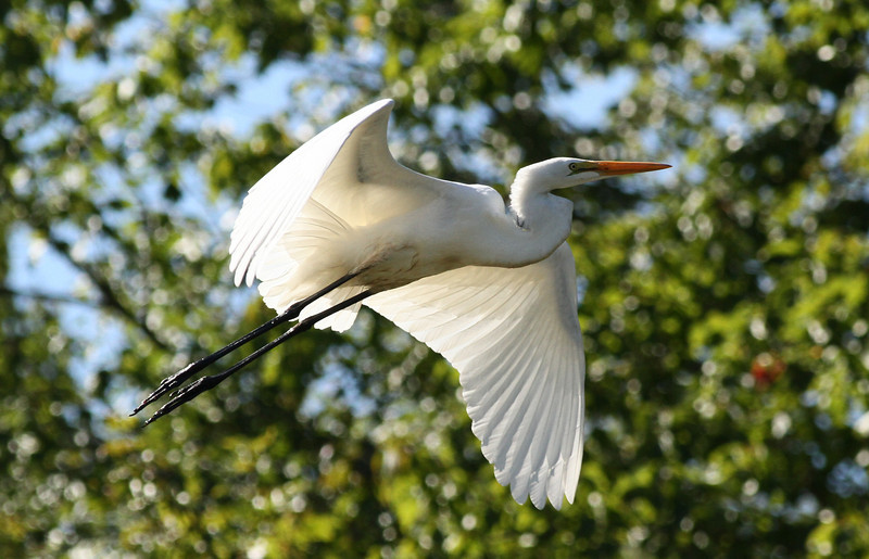 Great Egret, Beaver Brook