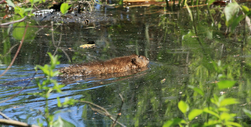 Muskrat swims behind our house