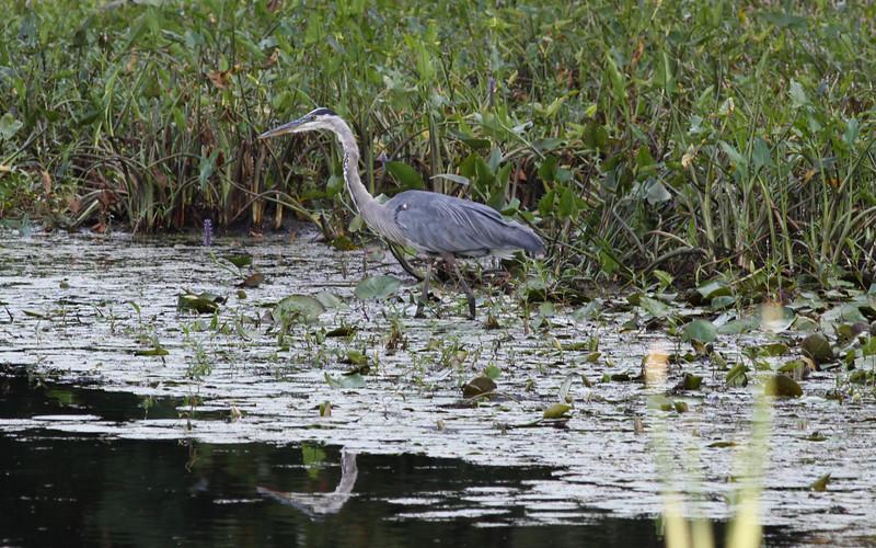 GBH on Beaver Brook