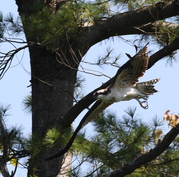 Osprey, Forge Pond MA