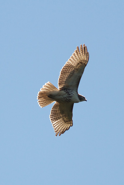 Red-tailed Hawk over Forge Pond