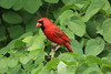 Northern Cardinal (m) in Katsura tree
