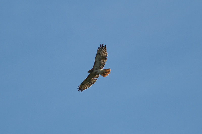 Red Tail Hawk over Concord River