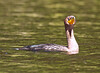 'Curious' Cormorant, Concord River