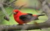 Scarlet Tanager (2)