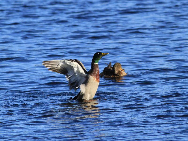 Pair Mallard Ducks, Forge Pond MA