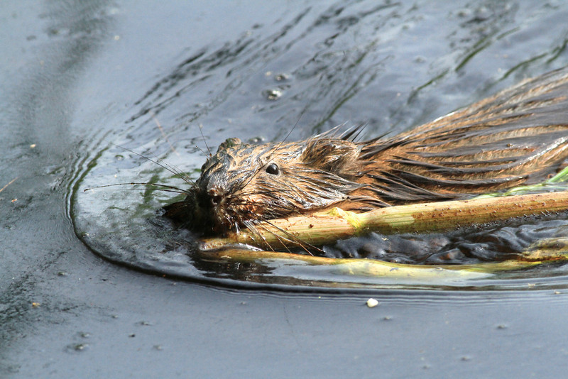 Muskrat with his food